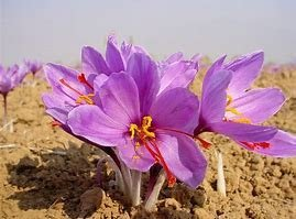 Benefit Of Saffron, Benefit Of Saffron To The Body
